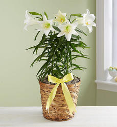 Easter Lily from Wyoming Florist in Cincinnati, OH