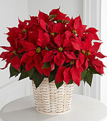 Red Poinsettia from Wyoming Florist in Cincinnati, OH