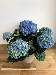 Blue Potted Hydrangea from Wyoming Florist in Cincinnati, OH