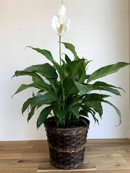 Peace Lily Plant from Wyoming Florist in Cincinnati, OH