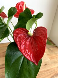 Red Anthurium from Wyoming Florist in Cincinnati, OH